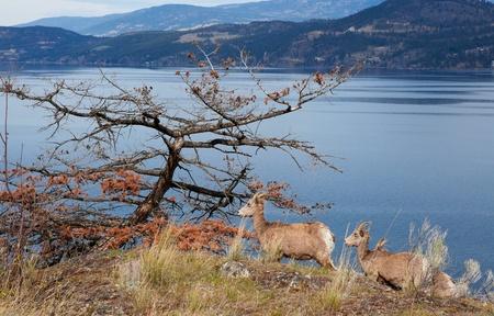 mountain goats: Le capre delle Montagne Rocciose, lungo la sponda occidentale del Lago di Okanagan in primavera. Archivio Fotografico