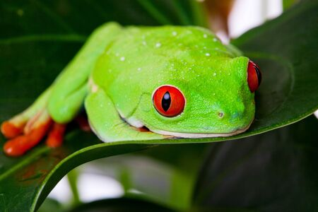 red eyed leaf frog: A Red-Eyed Tree Frog laying contently on a leaf   Macro with shallow depth of field