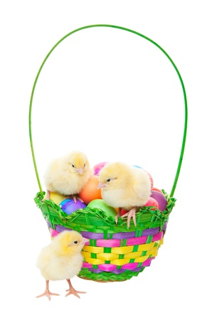 Newly hatched chicks in an Easter basket filled with dyed eggs   Shot on white background
