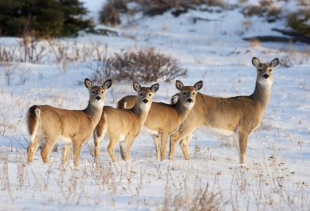 White Tail Deer, in early evening light, in the Cypress Hills, Alberta, Canada   Mother and three babies