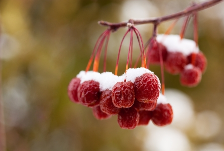 A cluster of dried up crab apples covered with snow   Macro with shallow depth of field  photo
