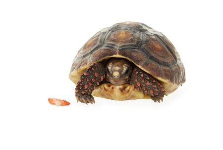 next year: A 2 year old, female, Red- Footed Tortoise partially tucked into her shell with a piece of strawberry next to her   Shot on white background  Stock Photo
