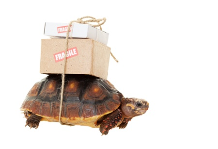 slowly: A small tortoise carrying mail on his back   Shot on white background   Snail mail slow concept