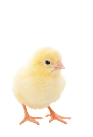 A newborn baby chick on white background Stock Photo - 18247622