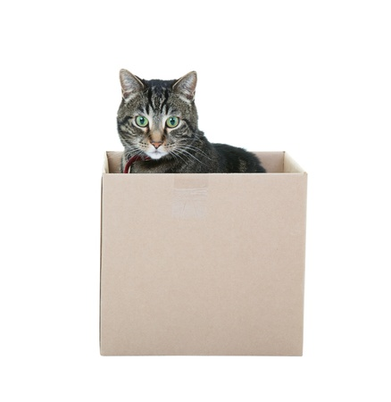 A male black and gray tabby occupying a cardboard box   Shot on white background  photo