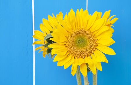 Sunflowers against a bright blue fence  photo