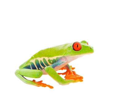 red eyed tree frog: A sitting Red-Eyed Tree Frog   Shot on white background
