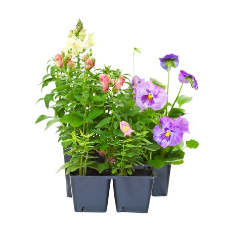 Annual bedding plants straight from the greenhouse nursery   Snapdragons and pansies isolated on white
