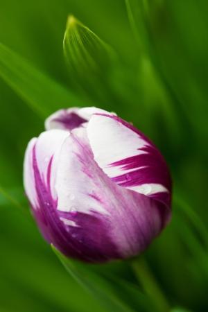 rimpeling: Hybride tulp ras, Blueberry Ripple, op een winderige, natte dag Ondiepe scherptediepte Maakt een mooie kunstdruk Stockfoto