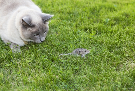 A Lilac Point Siamese cat hot on the trail of a  wild mouse.
