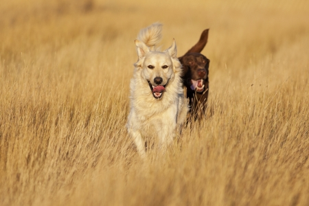 evenings: A Golden Labrador Retriever and a Chocolate Lab Retriever running through a harvested wheat field during evenings golden hour.