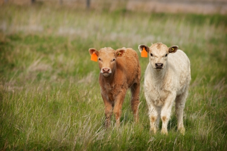 alberta: Two freshly tagged spring calves in green pasture. Stock Photo