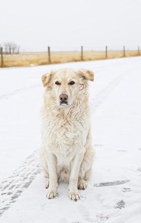 huellas de animales: Un macho de oro de Labrador Retriever sentado fuera en invierno, mientras que nieva ligeramente Foto de archivo