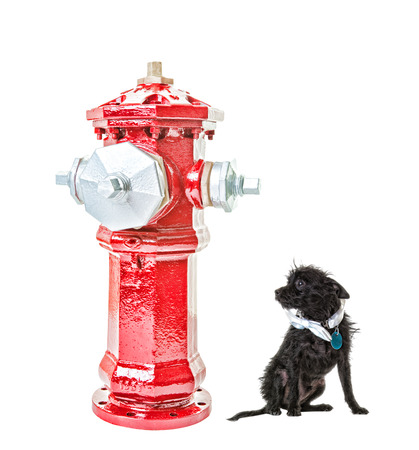 intimidated: A very small dog intimidated by a very big fire hydrant  Isolated   Hdr   Clipping path for fire hydrant
