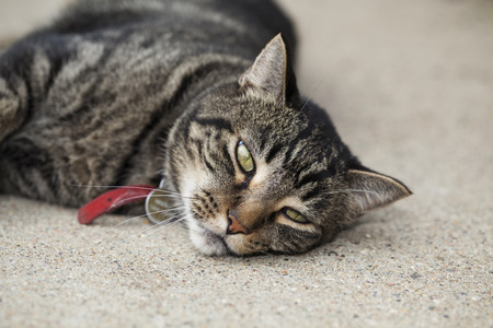 Bored male tabby cat laying on cement patio on a hot summer day.