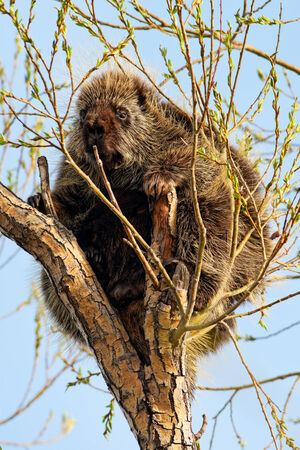 A porcupine sitting in a tree, calmly nibbling on the fresh spring growth. Southern alberta, Canada.