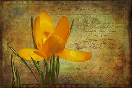 burnished: Yellow crocus with a vintage textured and distressed look.