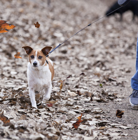 Dog being walked on a windy Autumn day. Imagens