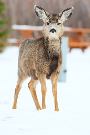 A young deer, less than a year old, in a closed for the season, snow covered campground.  Elkwater, Cypress Hills, Alberta, Canada. Imagens