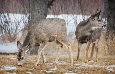 Young deer looking for something to graze on, in early spring.  Elkwater, Cypress Hills, Alberta, Canada. Imagens