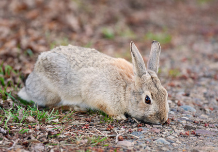A wild Bush Rabbit nibbling on the first spring greenery.  Alberta, Canada.