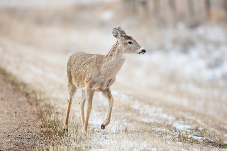 A deer on the side of the road in early spring.
