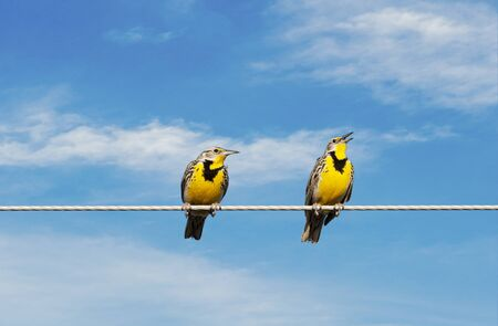 Two Meadowlarks on a wire.  One is singing while the other looks on in disgust. Imagens