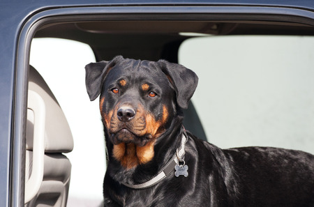 A young female rottweiler going for a ride in the backseat of a truck. Imagens