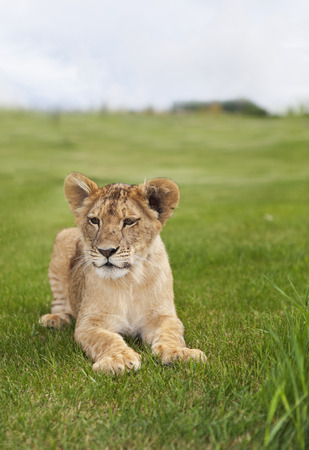 A young lion cub laying in the grass.