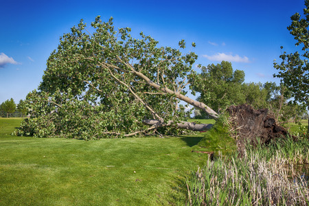 swept: June 12th, 2015  Redcliff, Alberta, Canada. A huge tree is uprooted at the Redcliff Golf Course after a violet storm that included wind, hail  rain, swept throught the community at approximately 3:30 pm.