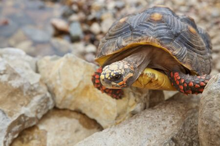 A Red-Footed Tortoise climbing up some rock.  Tortoise has some pyramiding. Imagens