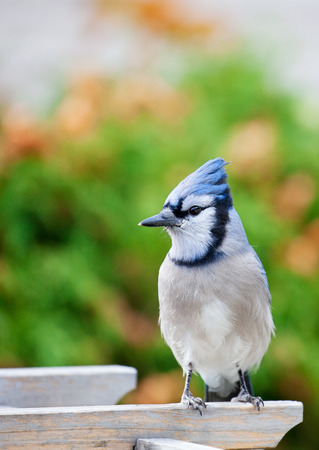 bluejay: A bluejay perched on a garden arbor in Autumn.