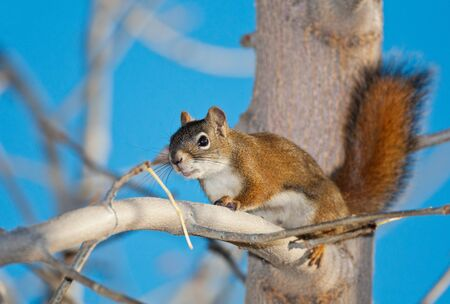 A Red Squirrel in a tree.  A fairly unusual sight in Medicine Hat, Alberta, Canada.
