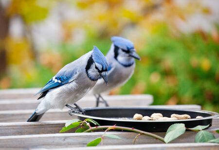 bluejay: A pair of bluejays at a backyard feeder enjoying an offering of peanuts, on a garden arbor, in Autumn. Stock Photo