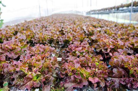 hydroponic: fresh lettuce hydroponic in farm