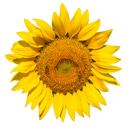 a sunflower: isolated sunflower on white background