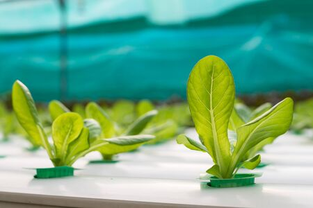 Hydroponics vegetable growing in the nursery Reklamní fotografie