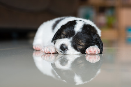 poodle: little puppy sleeping on the tile