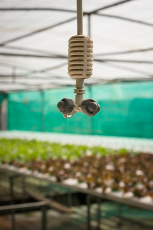 cultivation: Sprinkler irrigation in hydroponics vegetable farm