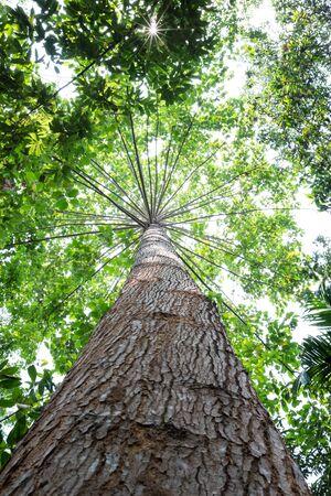 tall tree: tall tree in rain forest