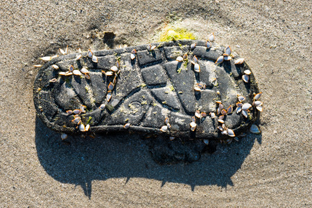 sea pollution: Goose barnacles attached to plastic shoe on a beach beside the sea, pollution