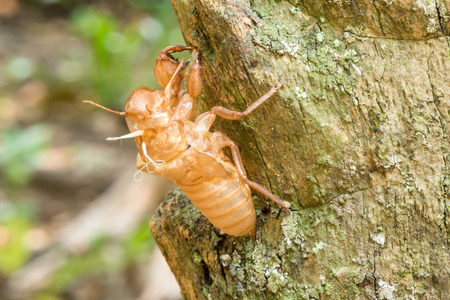 slough: Close up Cicada slough or molt hold on the tree