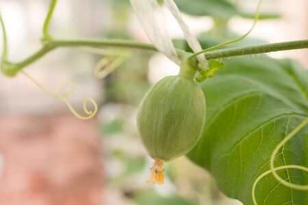 melon field: Young green melon hanging on tree in field Stock Photo