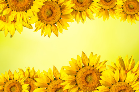 bright yellow: Floral background border of yellow sunflower.