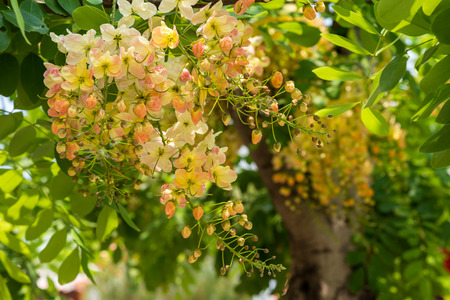 fabales: Javanese Cassia, Rainbow Shower, Pink and white shower, Common pink cassia