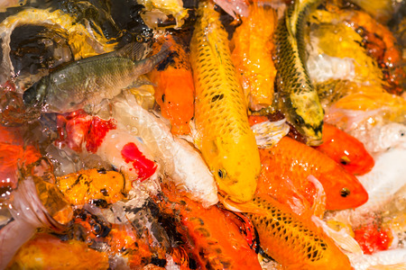 frenzy: Colorful Japanese Koi fish carp during a feeding frenzy. Stock Photo