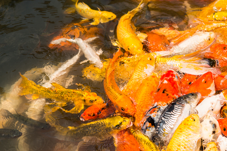 japanese koi: Colorful Japanese Koi fish carp during a feeding frenzy. Stock Photo