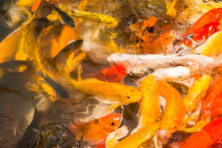 feeding frenzy: Colorful Japanese Koi fish carp during a feeding frenzy. Stock Photo