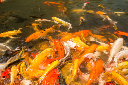 feeding frenzy: Colorful Japanese Koi fish carp during a feeding frenzy. Stock Photo