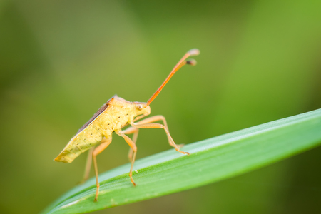 squash bug: Macro of a coreid bug on green nature background